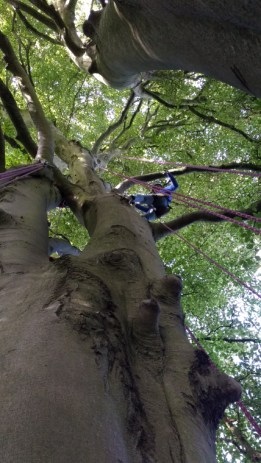 Image of view-up-a-tree-with-climber-attached-to-rope
