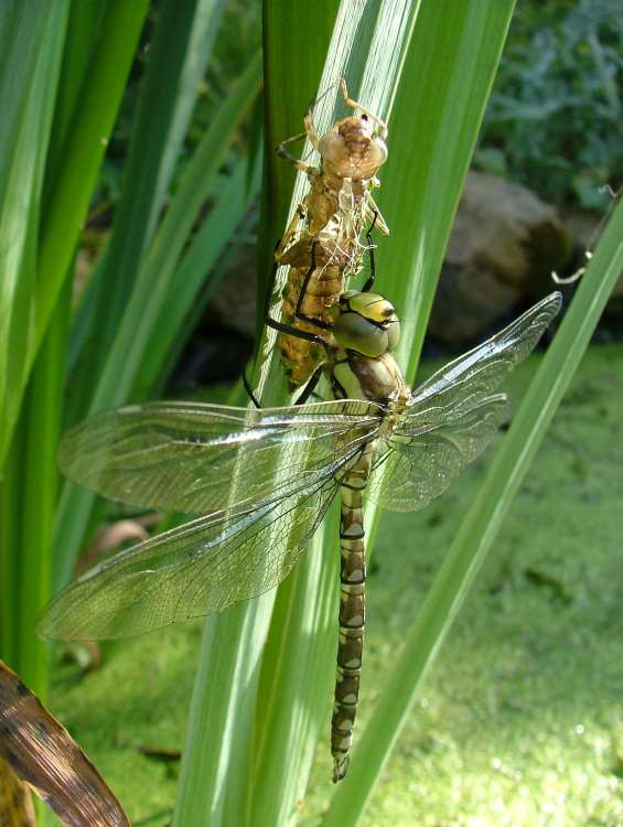 Newly emerged Southern Hawker Dragonfly hanging to dry from larval case on pond plant