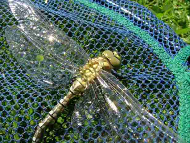 Southern Hawker Dragonfly drying out on net