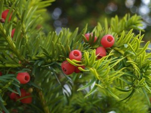 Image of Yew berries on branch