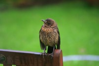 Image of juvenile blackbird-on-back-of-bench-in-garden