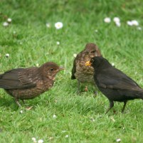 Image of blackbird-male-feeding-2-juveniles-on-grass