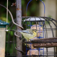Image of blue-tit-juvenile-on-garden-bird-feeder