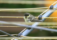 Image of coal-tit-juvenile-on-rotary-drier-in-garden