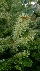 Image close up of Nordman Fir branch close up