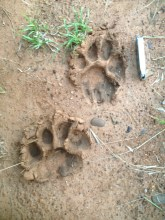 Image of lion-pawprints