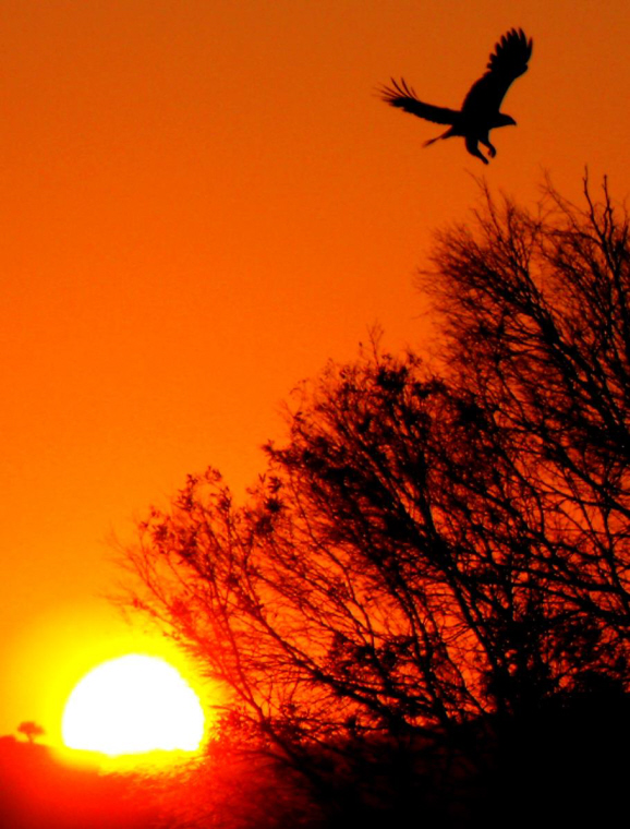 Image of ilhouette of eagle flying towards trees at sunset