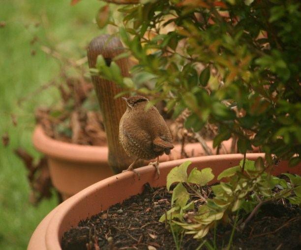 Image of wren-on-edge-of-flowerpot-in-garden