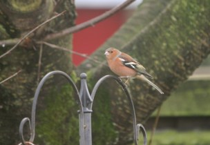 Image of chaffinch-on-bird-feeder in front of tree trunk