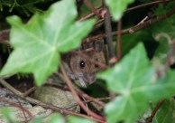 Image of wood-mouse-in-ivy-leaves-2