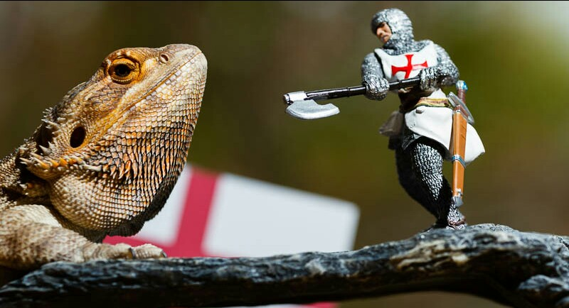 Image of Bearded Dragon reptile on branch with St George figurine and England flag behind