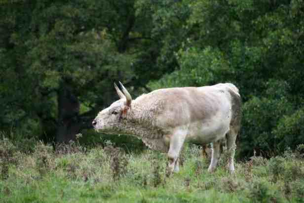 Image of white Chillingham wild bull lowing in long grass with trees behind