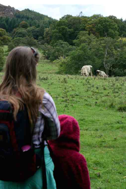Image of woman with backpack and child in purple fleece watching two white wild Chillingham bulls in field wit woods behind