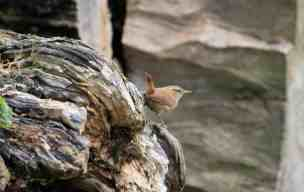 Image of wren sitting on fallen tree trunk