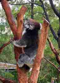 Image of koala bear climbing up a tree trunk