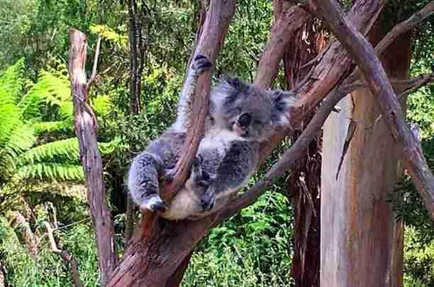 Image of koala sitting in a tree half asleep