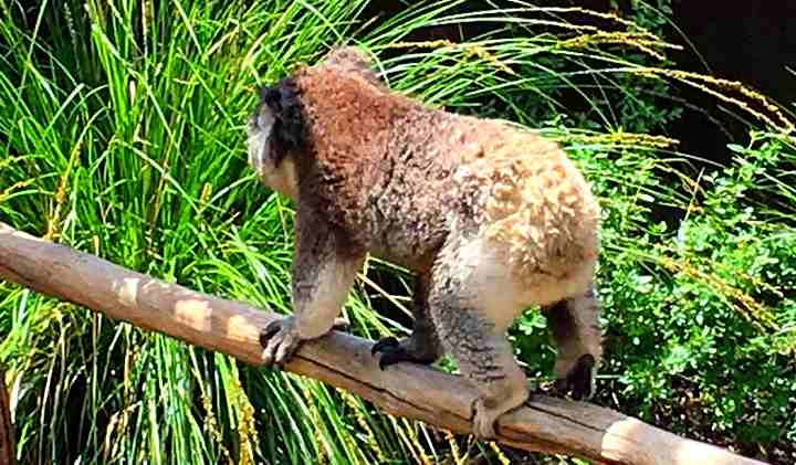 Image of koala walking on a log with grasses behind