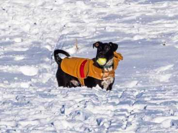 Image of black dog wearing brown coat in snow drift with yellow tennis ball in mouth