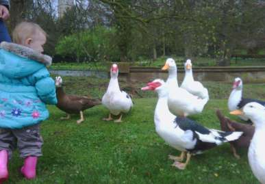 Image of toddler in turquoise coat feeding Muscovy ducks on grass in front of pond