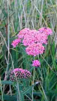 Image of pink flower growing in coastal grassland