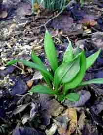Image of young shoots of wild garlic growing among leaf litter on woodland floor