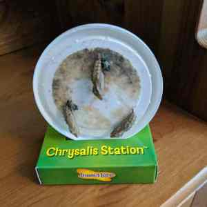 Image of chrysalides hanging from white plastic disc standing in cardboard 'chrysalis station'