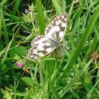 Image of cream and black Marbled White butterfly with open wings in grass