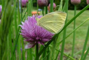 Image of creamy white Cabbage White butterfly with closed wings on Chive flowerhead