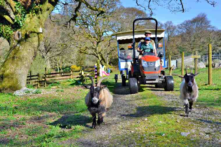Image of mini tractor and trailer being driven by farmer and child in field with trees and two brown goats in front