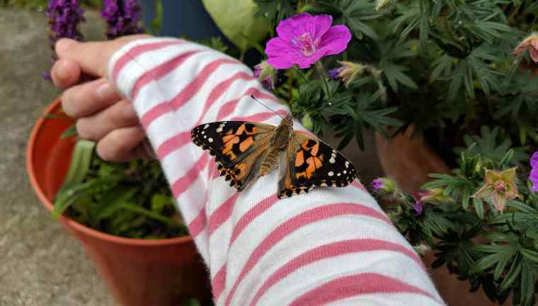 Image of orange, black and white Painted Lady butterfly sitting on child's arm in red and white stripe sleeve with flower pots behind