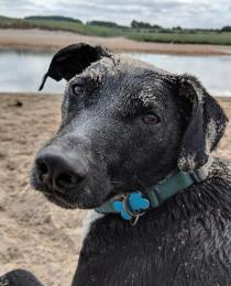 Image of close up of black dog's head with floppy ears and sand on head with water and dunes in background