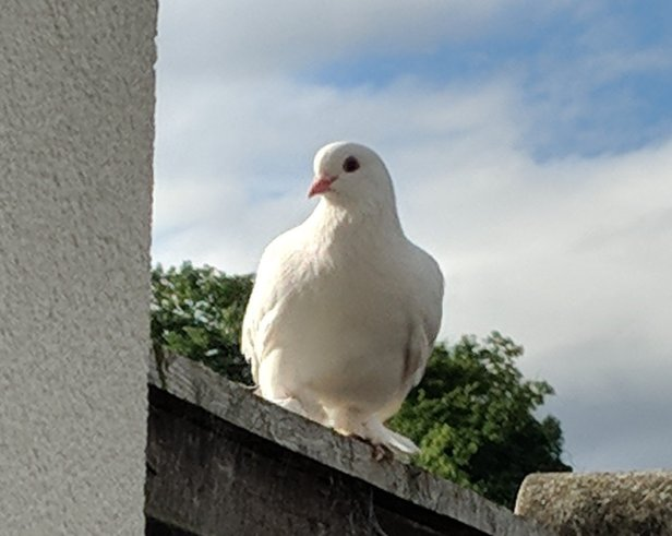 Image of a white dove sitting on a garden fence looking towards the camera with treetop and sky in background