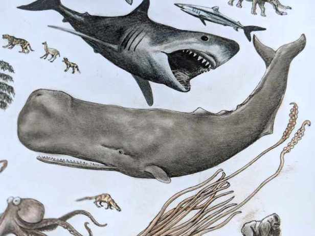 Image of detailed drawing of spern whale, shark and other sea and marine creatures