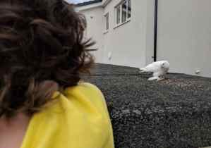 Image of white dove eating on flat garage roof with back of head of child in yellow top watching in foreground