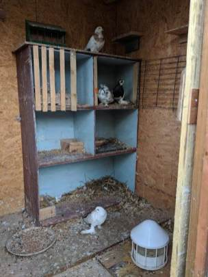Image of white dove on floor of wooden bird shed with feeder and bird rossting boxes with other doves in background