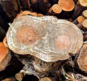 Image of cut pine log showing rings with eye pattern in heartwood