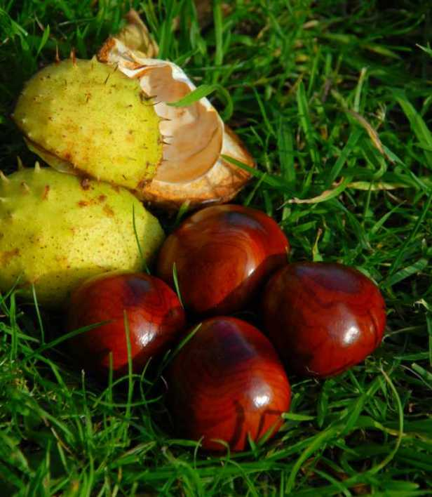 Image of shiny conkers in the grass with two lime green spiky seed cases next to them