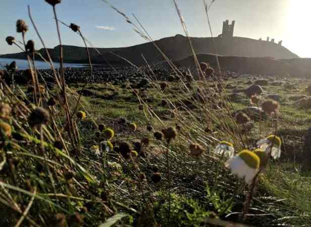 Image of Dunstanburgh Castle with clifftop flowers in foreground, Newcastle