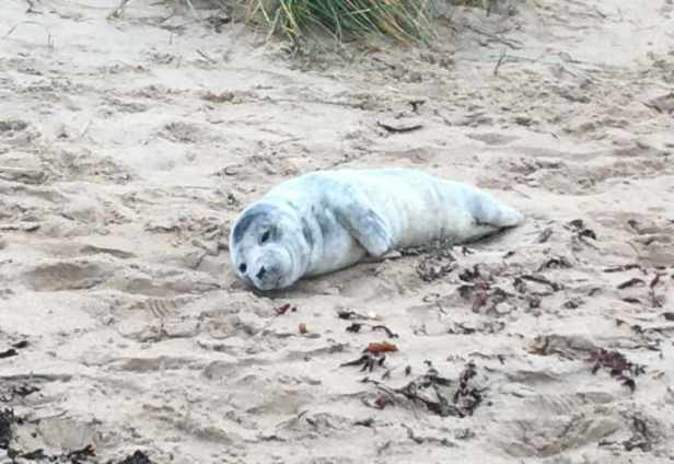 Image of grey seal pup lying on sand