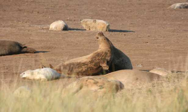 Image of two adult seals fighting at Donna Nook seal colony with seal pups close