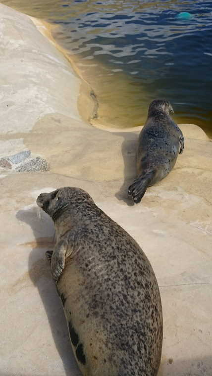 Image of two seals in a pool at the Gweek seal sanctuary, Cornwall, UK