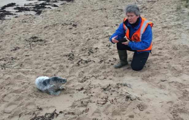Image of woman in high vis top kneeling close to examine grey seal pup on beach
