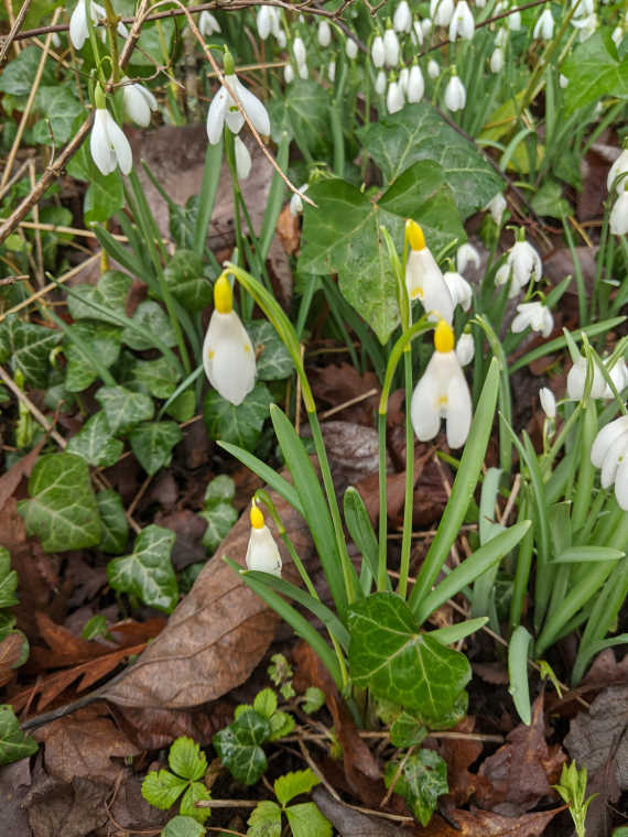 Image of snowdrops with yellow stems on woodland floor at Howick Hall Gardens