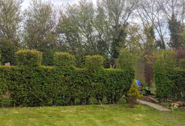 Deciduous hedge trimmed to topiary style castellated castle or fort walls with trees behind and grass in front