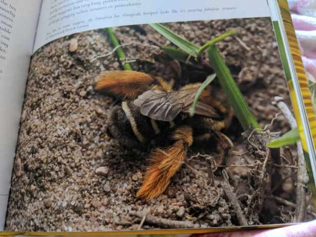 Pantaloon bee with furry brown legs standing on garden soil