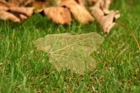 sycamore-skeleton-leaf-on-grass-with-fallen-leaves-behind