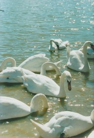 group-of-swans-swimming-on-sparkling-water