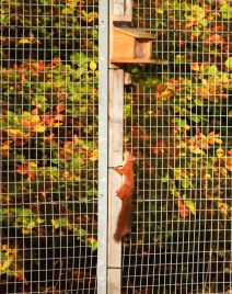 red-squirrel-climbing-up-feeder