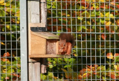 red-squirrel-on-feeder-with-autumn-leaves-behind