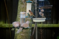 collared-doves-and-sparrow-on-bird-feeder